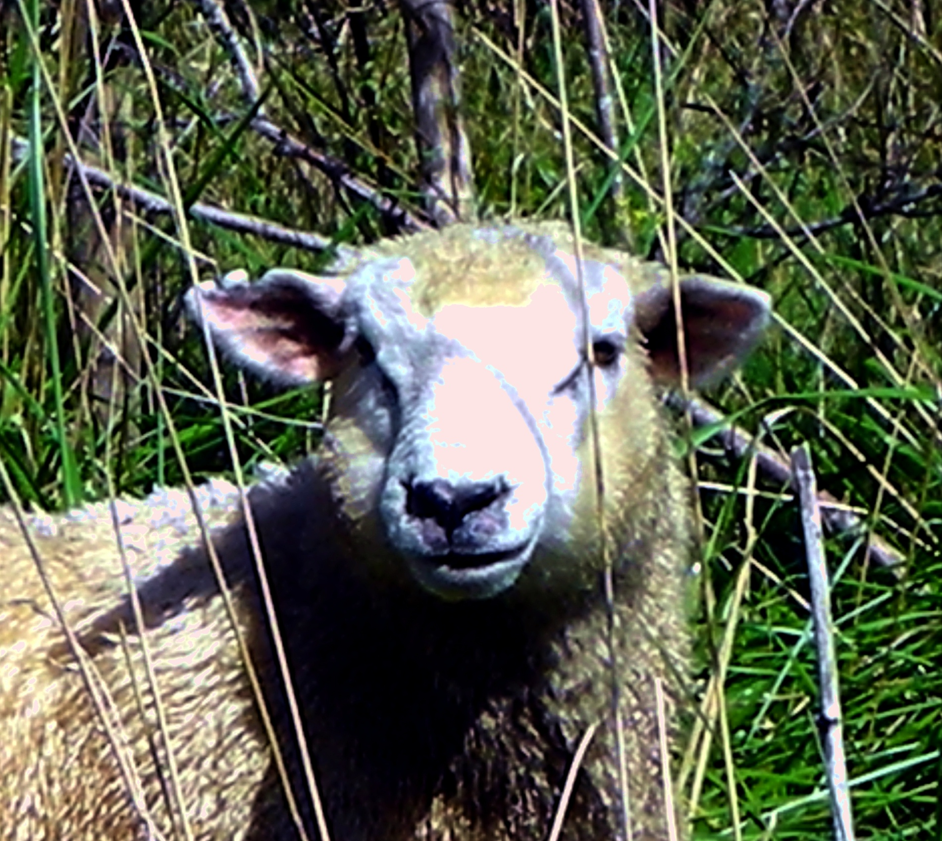 Wanganui River Road - Sheep